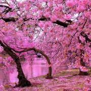 ۱۰ جشنواره ی زیبای شکوفه های گیلاس در سال ۲۰۱۶