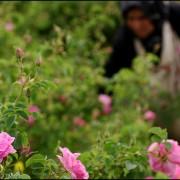 گلاب گیری فرهنگی هزار ساله ،شهر کاشان